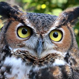 Ron Meyers Great Horned Owl.jpg