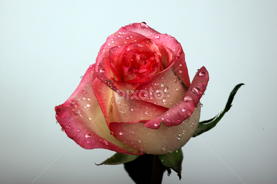rose with drops by Cristobal Garciaferro Rubio - Nature Up Close Flowers - 2011-2013 ( petals, drop, drops, flowers, flower, petal )