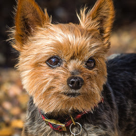 Dolly by Dave Lipchen - Animals - Dogs Portraits ( dolly, yorkie )