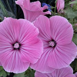 by Radisa Miljkovic - Flowers Flower Gardens