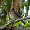 Mirla ollera - Black-billed Thrush