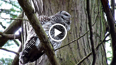 Video: Barred Owl's mate calls back 15 seconds into clip. Notice her reaction.