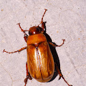 Scarab Beetle with Mites