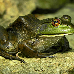 American Bullfrog by Lisa Powers - Animals Amphibians