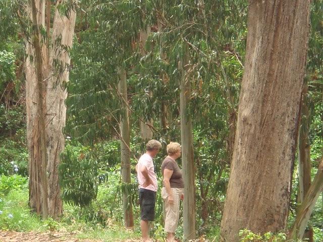 In het eucalyptusbos hangt een mystieke sfeer.