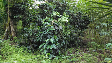 Photo: Day 3: Tulipe Museum, this was my first coffee bush in the wild.