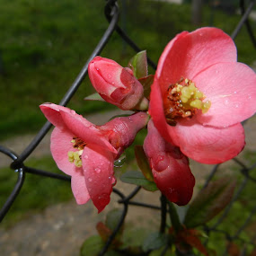 Red Beauty on Wire Fance by Nat Bolfan-Stosic - Flowers Flower Gardens ( red, wire, fance, beauty, flowers )