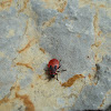 Firebug nymph