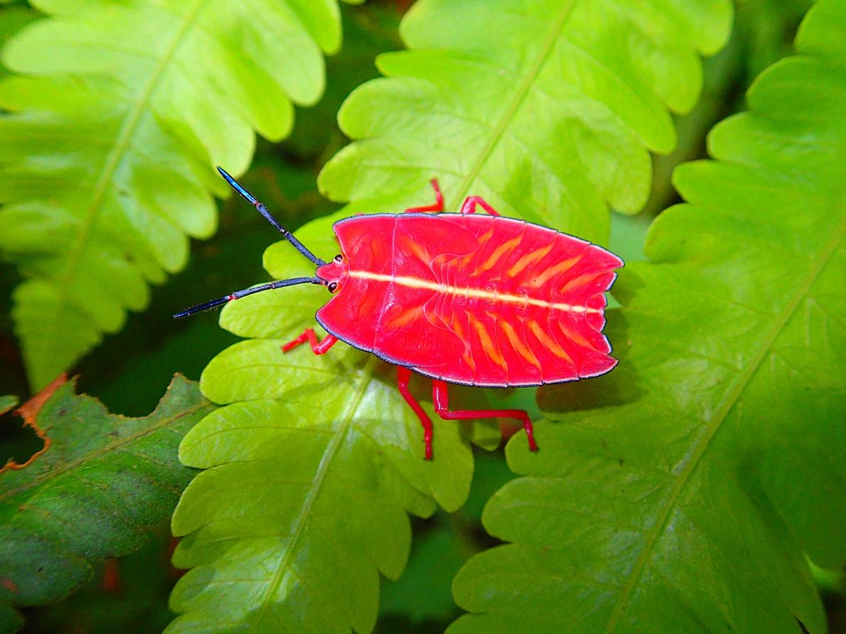 'Sashimi' Shield Bug