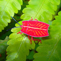 'Sashimi' Shield Bug