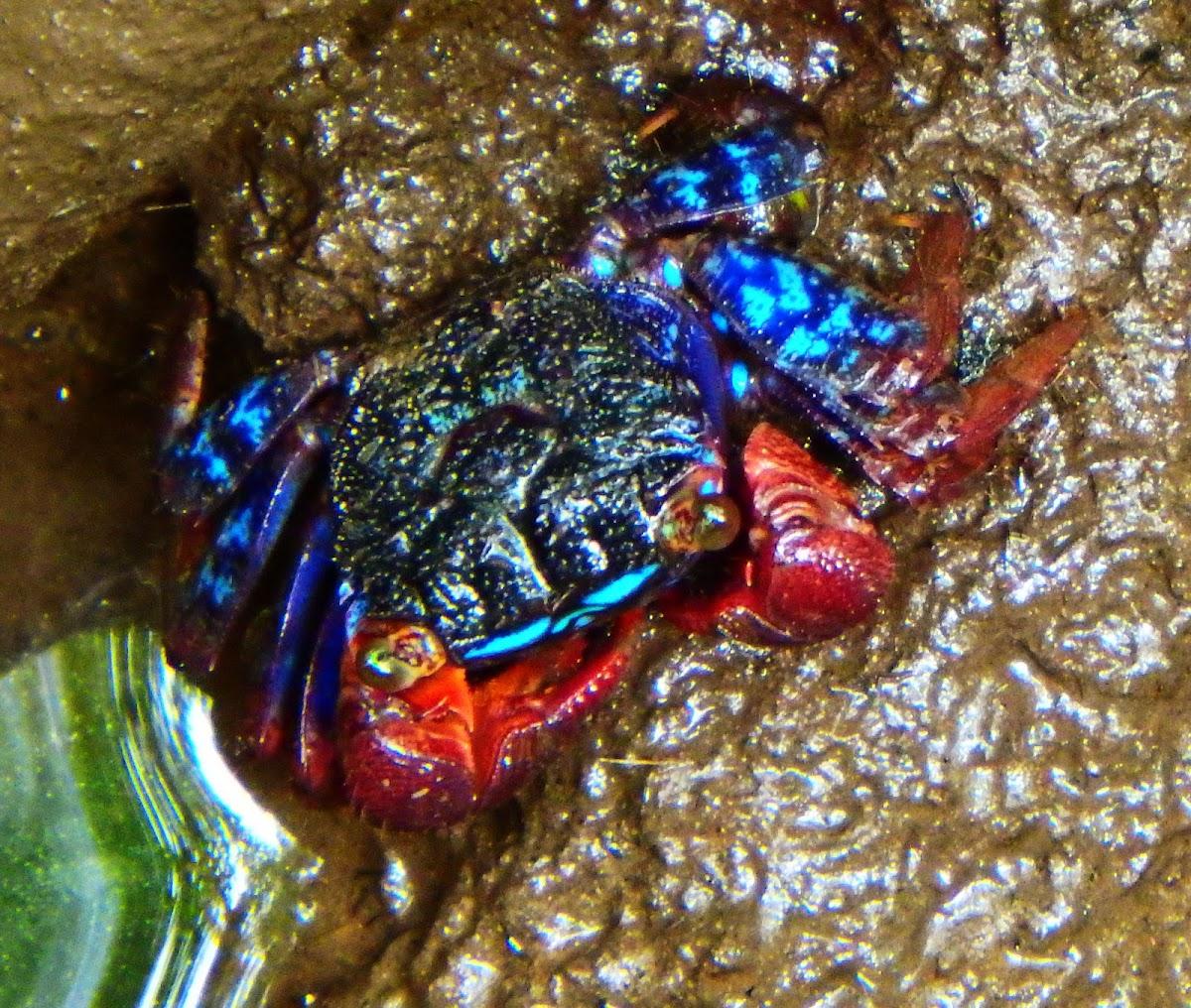 Iridescent Sesarmine Crab