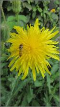 Photo: Susai (Sonchus arvensis) - din Turda, de pe Calea Victoriei, Mr.1 - 2018.07.23