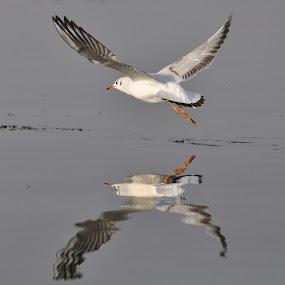 mirror image by Ashutosh Singhvi - Animals Birds ( mirror, sea gull )