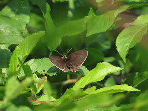 Photo: 8 Jul 13 Woodhouse Lane: From above a fresh Ringlet butterfly fails to show the 'rings' ... (Ed Wilson)