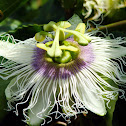 Passion Flower/ Liliko'i