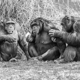 Chimps by Garry Chisholm - Black & White Animals ( primate, chimp, nature, ape, chimpanzee, garry chisholm )