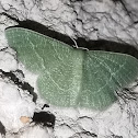 Emerald Geometer moth