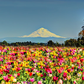 Tulip Festival  by John Broughton - Flowers Flower Gardens ( mountain, spring colors, tulip festival, trees, tulips )