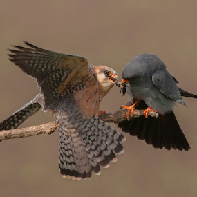 Red-footed falcons courting ritual by Trond Braadland - Animals Birds ( hungary, hortobagy, red.footed falcon, mating, courting )