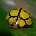 Yellow-Netted Ladybird