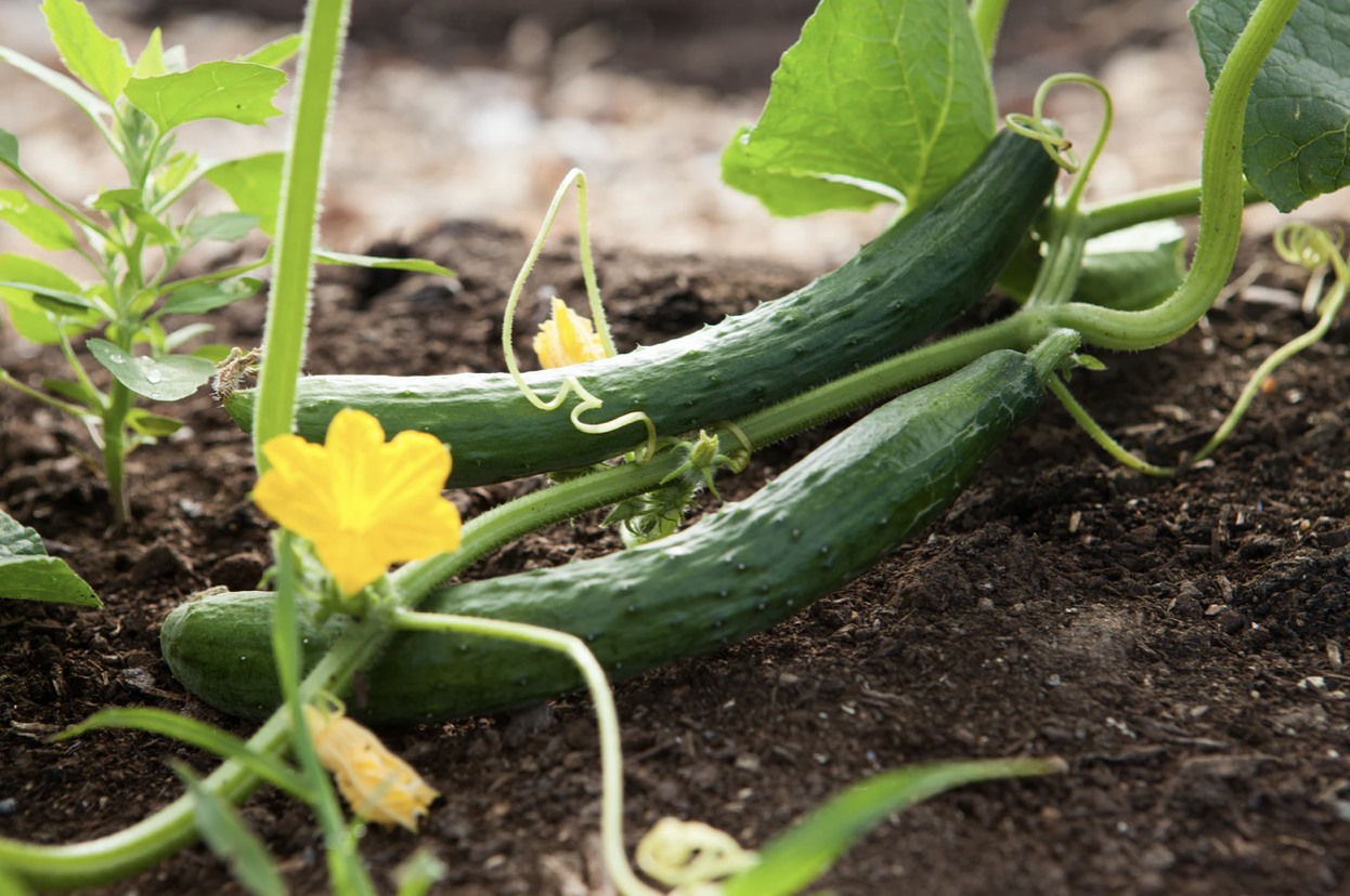 Prepare the soil for your vegetable garden