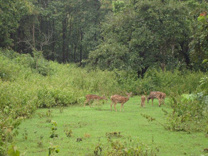 Photo: Nagarahole sanctuary :Beautiful deers by roadside...