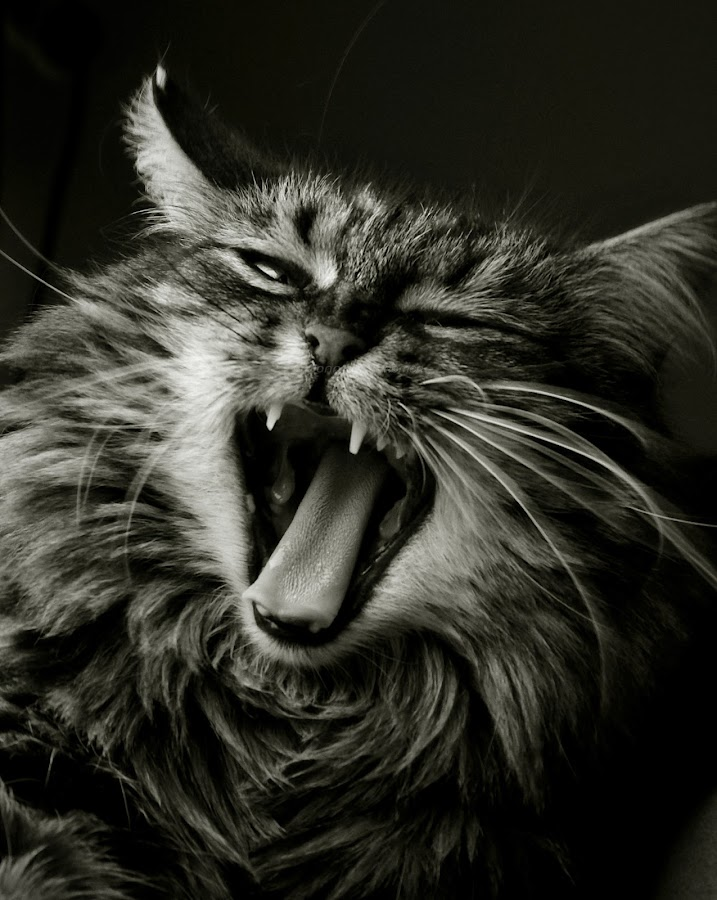 Kimmy by Jonathan Kremer - Animals - Cats Portraits ( cats, face, yawning, black and white, contest, cute, animal )