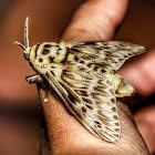 Podalia Flannel Moth / Mariposa-da-Lagarta-Cachorrinho
