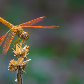 Dragonfly. by John Greene - Animals Insects & Spiders ( macro, nature, wildlife, insect, dragonfly )