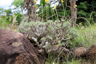 Photo: Lémur's park: pachypodium