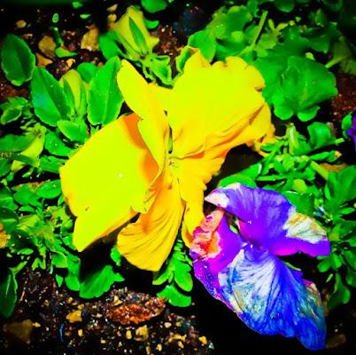 Richiamo delle violette... di sybil