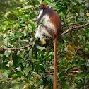 Colobo rojo de Zanzíbar (Zanzibar red colobus)