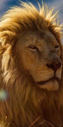 lion king wallpapers - best lion wallpapers hd screenshot 3