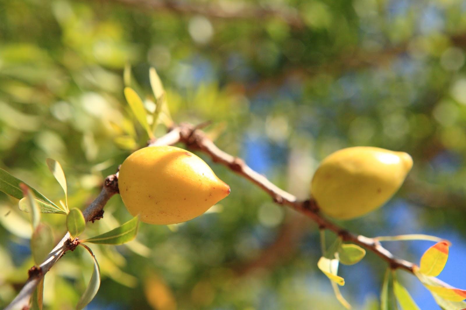 アルガンオイルを作りだす【アルガンツリー(アルガンの木)】は、アフリカ大陸北西端部にのみ自生している樹木です。 アルガンオイルは、1年間雨が降らなくても生きていけるという強い生命力をもつアルガンツリーの種子から抽出され「モロッコの黄金」と称されています。