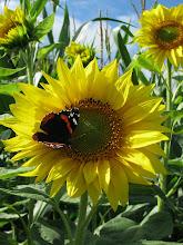 Photo: Sonnenblume mit einem Admiral.