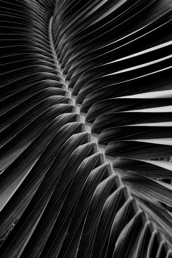 Lines on Betel Leaves by Ari Wid - Black & White Abstract ( betel, line, lines, leaf, leaves )