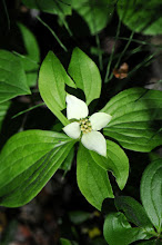 Photo: Dogwood flowers grow everywhere