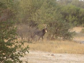 Photo: Sable antelope