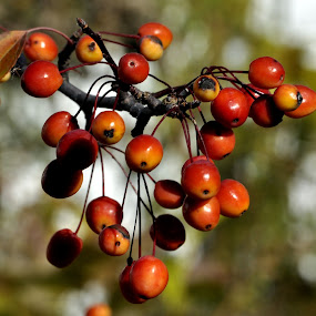 red fruits by Jean-Pierre Machet - Nature Up Close Other plants ( branch of fruts, res fruits,  )