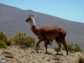 Photo: Lama