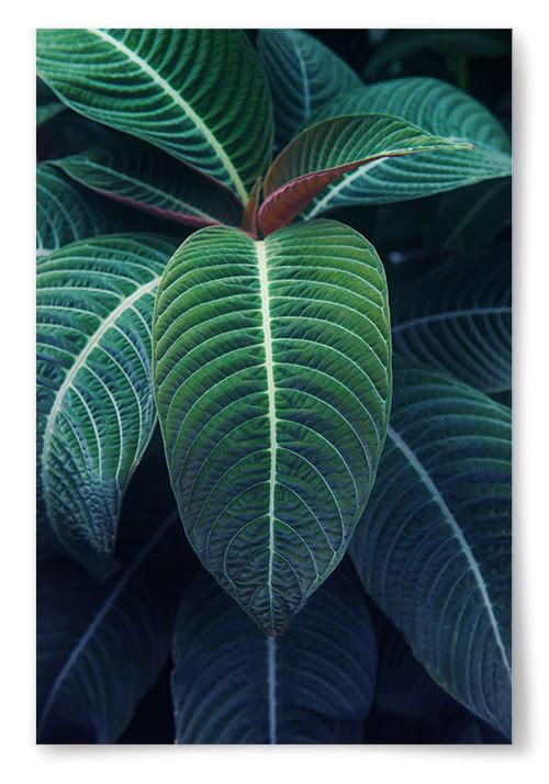 Poster Tropisk Växt