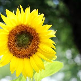 Sunflower by Stephanie Munguia-Wharry - Novices Only Flowers & Plants ( sunflower, flower )