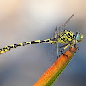 Libélula (Small pincertail)