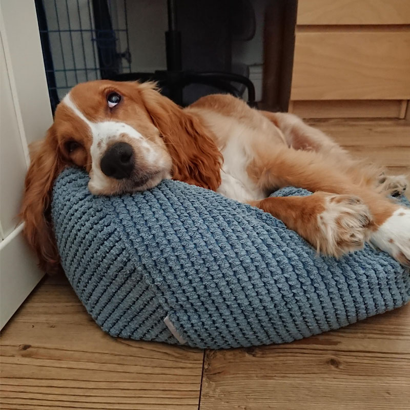 BorrowMyDoggy Spaniel sleepy on a cushion