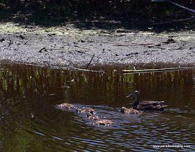 Photo: Mottled Duck mother and ducklings, High Island, East Texas