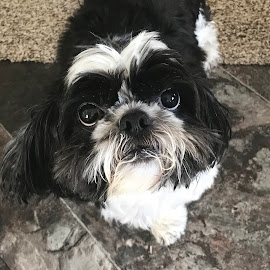 Buster by Jeanene Leonard Galewaler - Animals - Dogs Portraits ( dog shih tzu, furry )