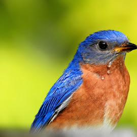 dribbles  by Jodi Iverson - Novices Only Wildlife ( wildlife, blue bird, birds,  )