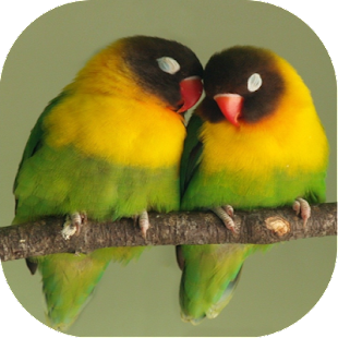 Cara Ternak Lovebird + Kicau Masteran Offline - náhled
