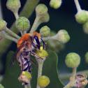 Ivy Bee; Abeja de la Hiedra