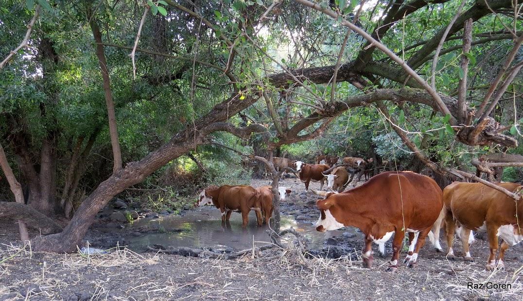 פרות משכשכות בפג'ר הקטן